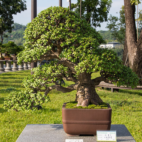 portulacaria bonsai tree taiwan