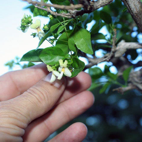 premna flowers bonsai