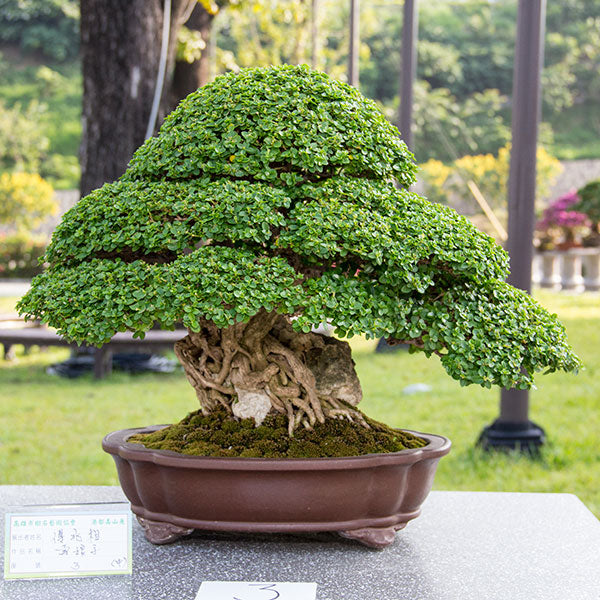 Premna bonsai tree Taiwan