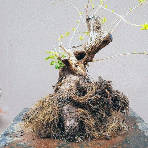 Premna root development in leca