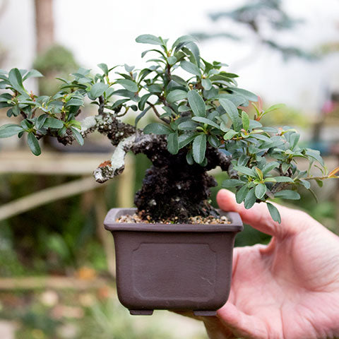 Firethorn shohin bonsai