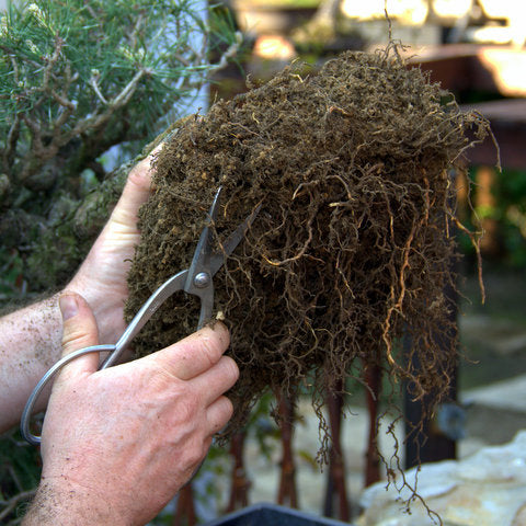 Trimming roots on bonsai repotting