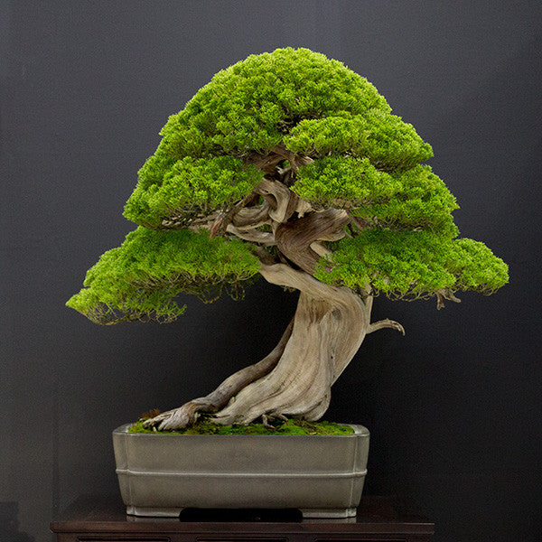 shimpaku bonsai tree japan