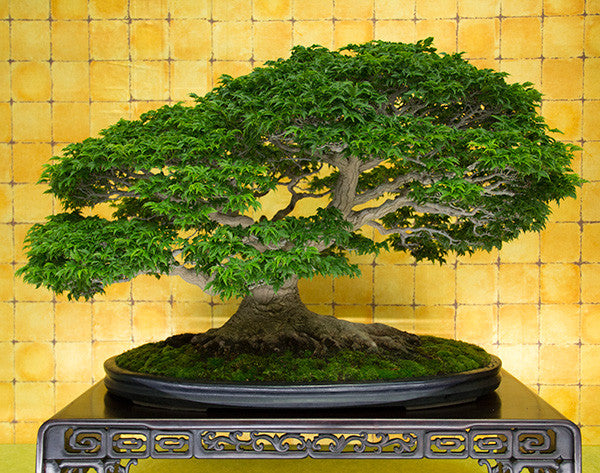shishigashira japanese maple bonsai tree