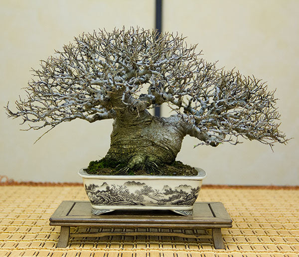 shohin celtis bonsai taiwan