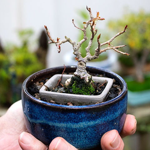 double potting shohin