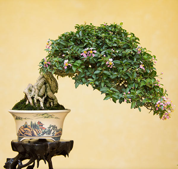 flowering shohin taiwan bonsai