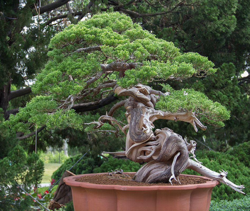 taiwanese juniper bonsai tree