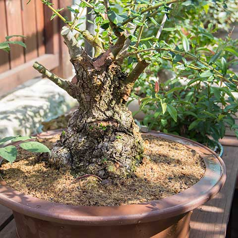 Collected wild olive bonsai in shade