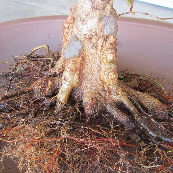 trident maple bonsai approach grafting
