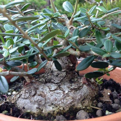 Thickened branches on the olive bonsai