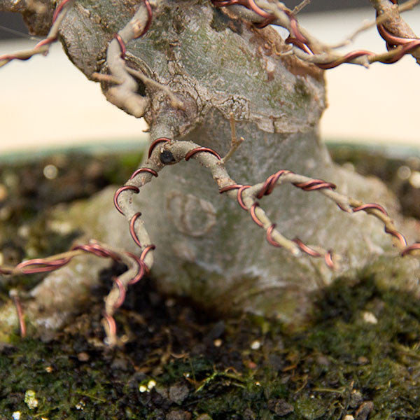 5 wiring tips for your bonsai trees bonsai tree pty ltd rh bonsaitree co za Bonsai Wire Sizes Bonsai Shapes