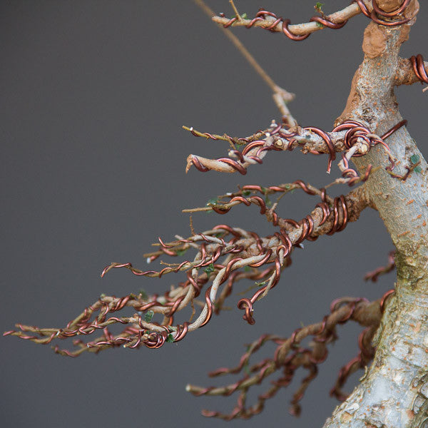 Superb 5 Wiring Tips For Your Bonsai Trees Bonsai Tree Pty Ltd Wiring Cloud Nuvitbieswglorg