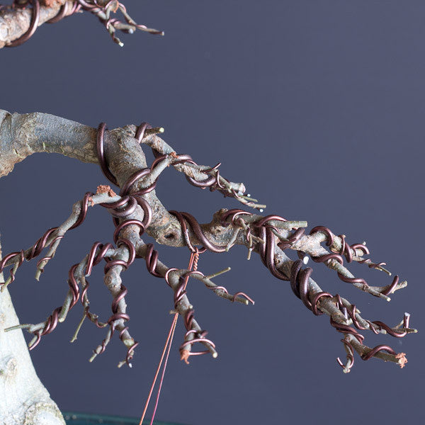 Cool 5 Wiring Tips For Your Bonsai Trees Bonsai Tree Pty Ltd Wiring Cloud Nuvitbieswglorg
