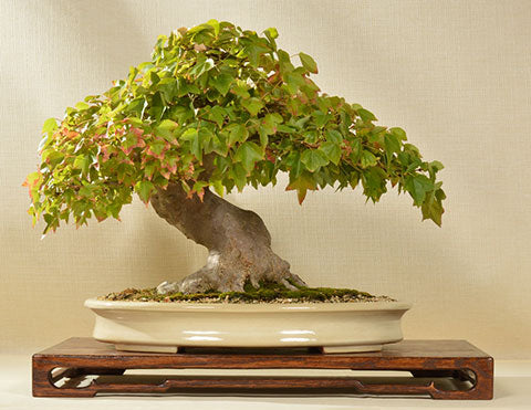 Yamafusa potted Chinese maple