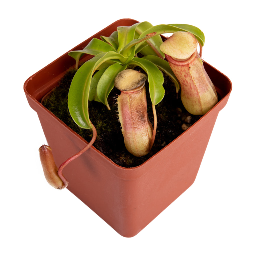 Tropical Pitcher, Nepenthes 'Captain Hook' -   - Carnivorous Plant