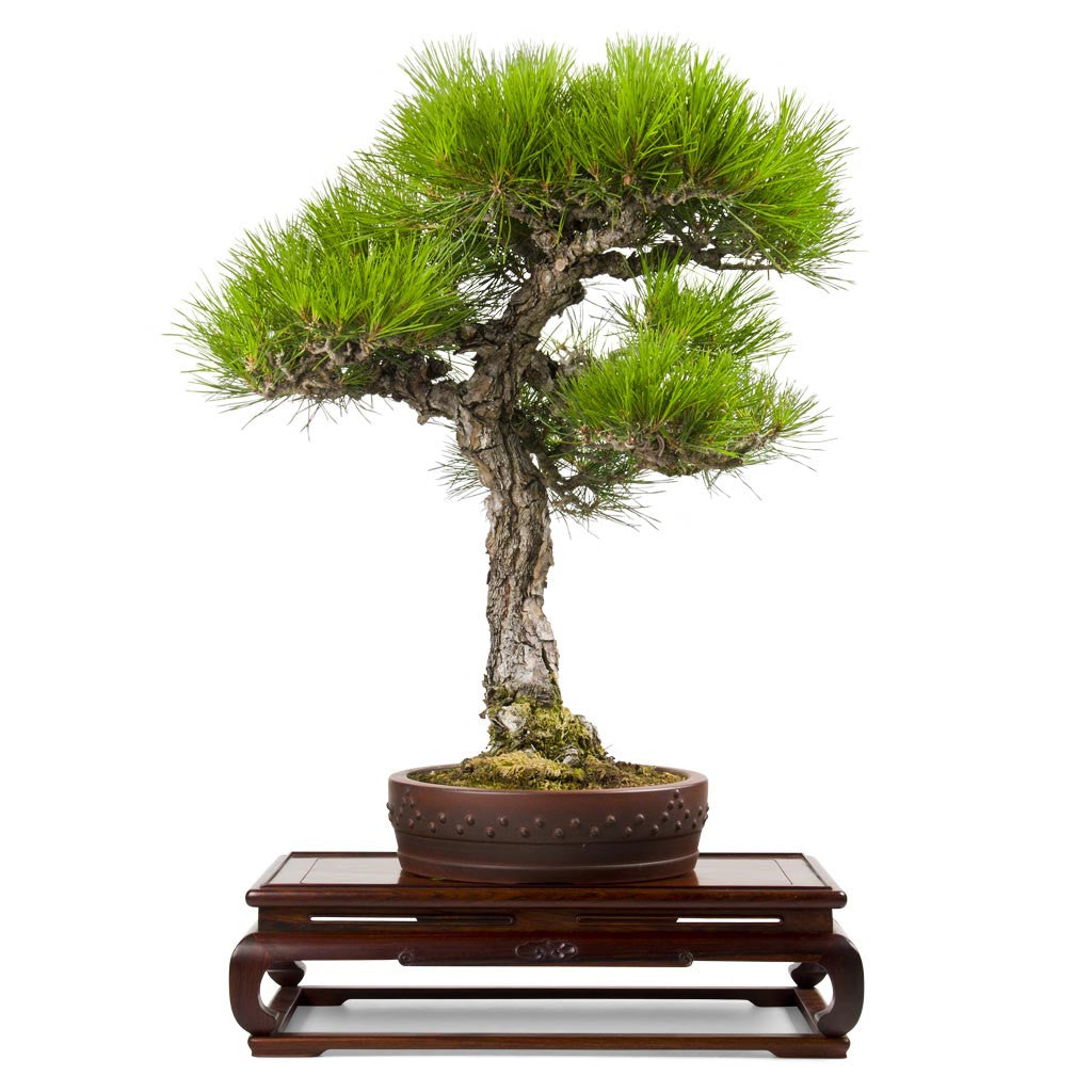 Japanese Red Pine -   - Trees