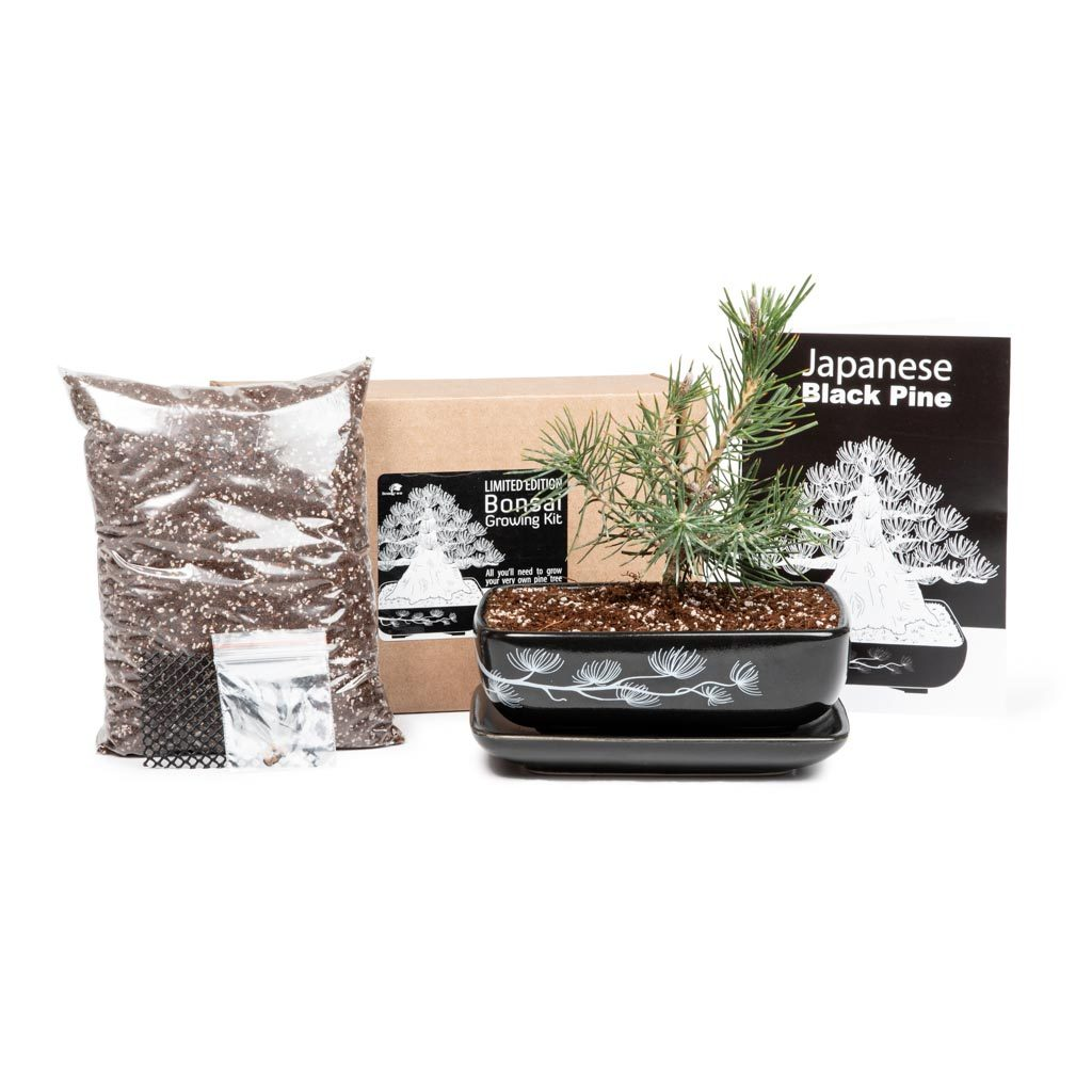 Japanese Black Pine Bonsai Growing Kit *LIMITED EDITION* -   - Promotional Items