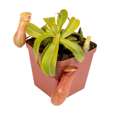 Tropical Pitcher, Nepenthes 'Nibs' -   - Carnivorous Plant