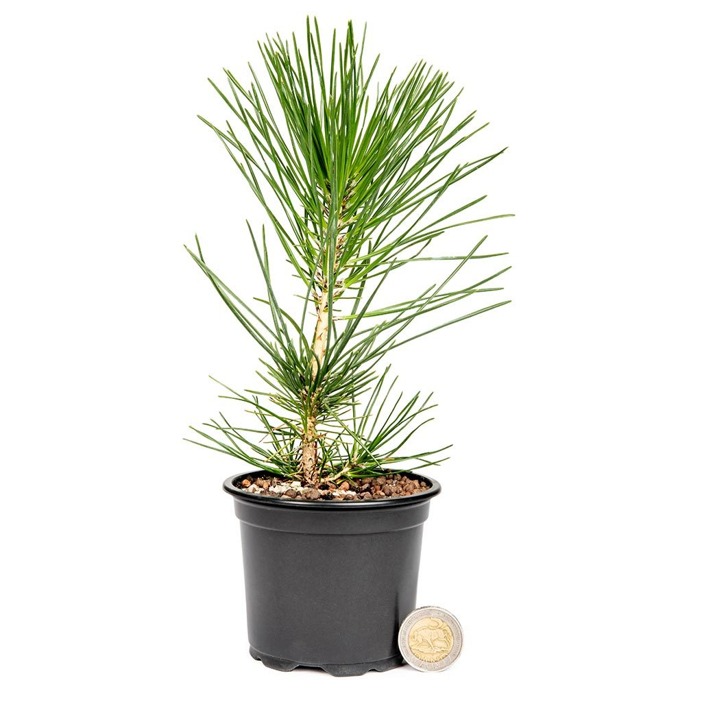 Japanese Black Pine Stock -   - Trees
