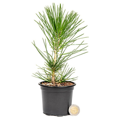 Japanese Black Pine Stock -  2 year old seedling - Trees