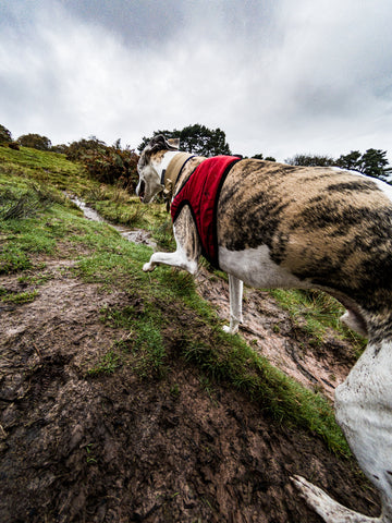 Kai the whippet running in Breacon Beacons wearing Dogsnug fleece harness
