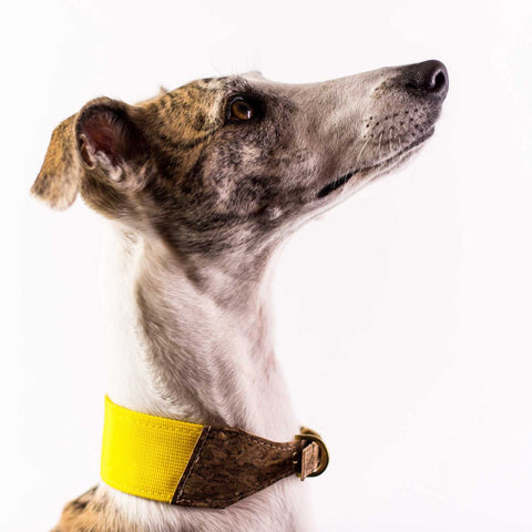 Ray of Sunshine Whippet Dog Collar
