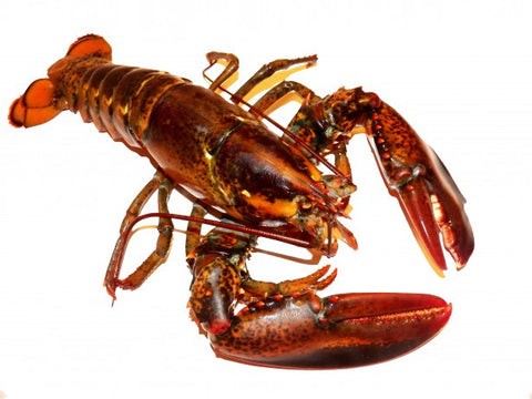 Fresh Live Maine Lobsters  1+1/4lbs