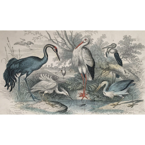 Common Crane, Crane, Cranes, White Stork, Stork, Gigantic Crane, Common Heron, Heron, Little Egret, Egret, Bird, Birds, Ornithology, Oliver Goldsmith, Goldsmith, Natural History, Animals, Wildlife, A History of the Earth and Animated Nature, Nature, Blackie & Son, Blackie and Son, 1852, Coloured Colorful, J. Stewart, J. Brown, Stewart, Brown, Antique Prints, Antique, Prints, Old Prints, Old Books, Rare Prints,