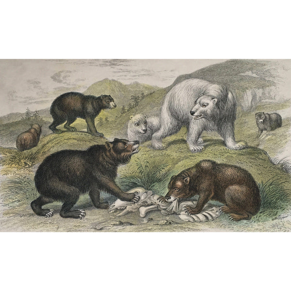 Bear, Bears, Grisly Bear, Grisly, European Brown Bear, Brown Bear, European, Polar Bear, Feeding, Carnage, Carcas, Eating, Oliver Goldsmith, Goldsmith, Natural History, Animals, Wildlife, A History of the Earth and Animated Nature, Nature, Blackie & Son, Blackie and Son, 1852, Coloured Colorful, J. Stewart, J. Bishop, Stewart, Bishop, Antique Prints, Old Prints, Vintage, Original, Rare Prints, Rare Books, Home decor, Wall decor, Unique Prints,
