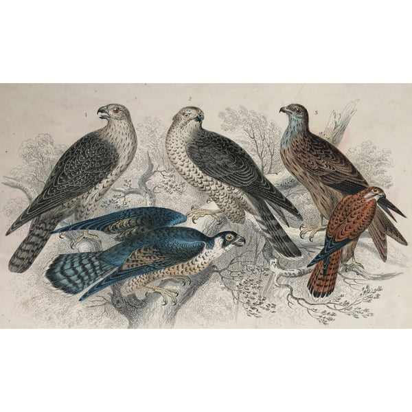 Falcon, Falconry, Gyr Falcon, Goshawk, Hawk, Kite, Glead, Peregrine Falcon, Kestril, Female Kestril, Bird, Birds, Ornithology, Oliver Goldsmith, Goldsmith, Natural History, Animals, Wildlife, A History of the Earth and Animated Nature, Nature, Blackie & Son, Blackie and Son, 1852, Coloured Colorful, J. Stewart, J. Bishop, Stewart, Bishop, Antique Books, Old Prints, Rare Prints, Antique Prints, Original, Wall art, Wall decor,
