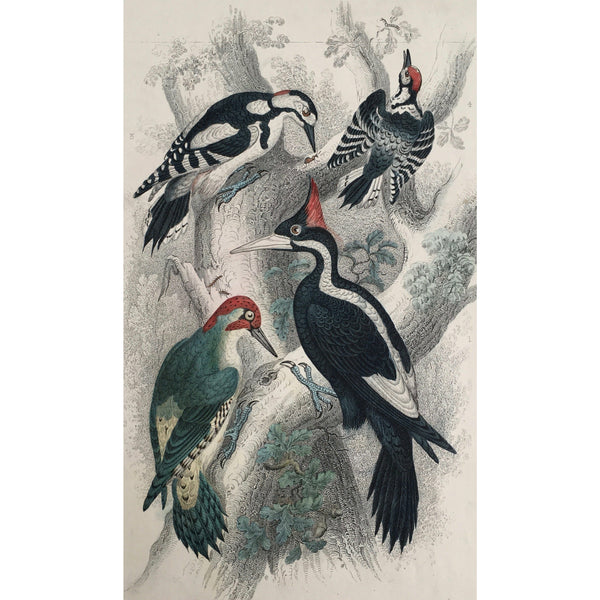 Woodpecker, Ivory Billed Woodpecker, Green Woodpecker, Great Spotted Woodpecker, Lesser Spotted Woodpecker, Bird, Birds, Ornithology, Oliver Goldsmith, Goldsmith, Natural History, Animals, Wildlife, A History of the Earth and Animated Nature, Nature, Blackie & Son, Blackie and Son, 1852, Coloured Colorful, J. Stewart, J. Brown, Stewart, Brown, Old Prints, Old Books, Antique, Prints, Art, Home decor, Wall art,