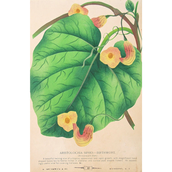 Rose, Roses, Flower, Flowers, Botanical, Botanicals, Botany, Garden, Flores, Fleur, Fleurs, Aristolochia, Sipho., Birthworth, Dutchman's Pipe, bright, colourful, M. Brunswick & Co., Rochester NY, Nurserymen's Sample Book, Antique Prints, Botanical Prints, Engravings,