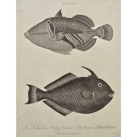 Balistes, Fish, Aculeatus, Prickly balistes, Ringens, Black balistes, design, Antique Prints, Antique, Print, Vintage, Art, Wall art, decor, engraving, Encyclopedia, Encyclopaedia Londinensis, Dictionary, Universal Dictionary of Arts, London, Wilkes, Pass, Adlard, 1798,