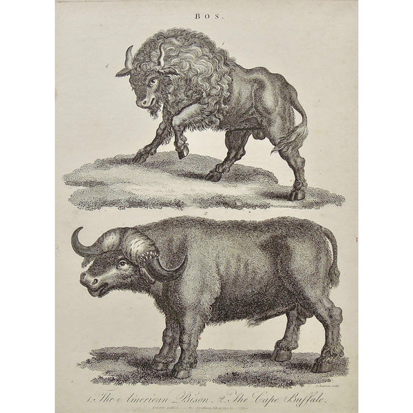 Bos., Bison, American Bison, Cape Buffalo, Buffalo, American, horns, stance, Antique Prints, Antique, Prints, Vintage, Wall art, Art, decor, design, engraving, Encyclopedia, Encyclopaedia Londinensis, Dictionary, Universal Dictionary of the Arts, London, Wilkes, Adlard, Chapman, 1799,