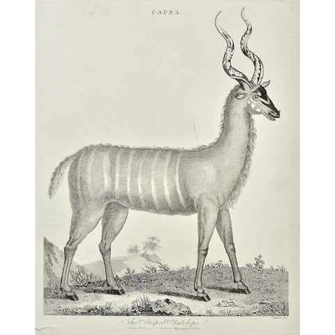 Capra, Striped Antelope, Antelope, Animal, Animals, Horns, horned, striped, Universal Dictionary, Dictionary, Encyclopaedia Londinensis, Encyclopedia, London, Antique Print, Antique, Prints, Vintage, Vintage Art, Art, Wall art, Decor, wall decor, design, engraving, original, authentic, Collectors, Collectable, rare books, rare, book, printmaking, print, printers, Wilkes, Adlard, Pass, 1799,