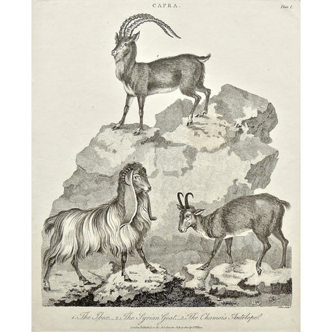 Capra, Goat, Ibex, Syrian Goat, Syrian, Antelope, Chamois Antelope, Chamois, Mountain goats, horns, animals, Universal Dictionary, Dictionary, Encyclopaedia Londinensis, Encyclopedia, London, Antique Print, Antique, Prints, Vintage, Vintage Art, Art, Wall art, Decor, wall decor, design, engraving, original, authentic, Collectors, Collectable, rare books, rare, book, printmaking, print, printers, Wilkes, Adlard, Pass, 1800,