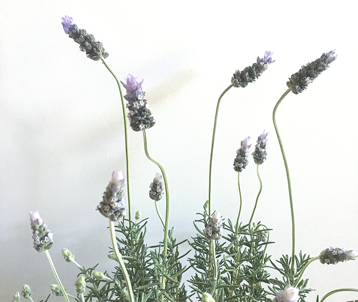 Healthy Living: Lavender