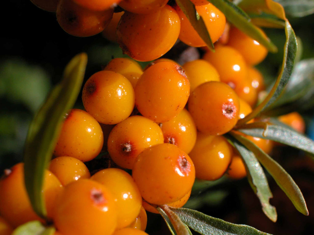 Sea Buckthorn, Organic