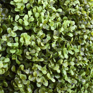 Boxwood Hedge, Transition