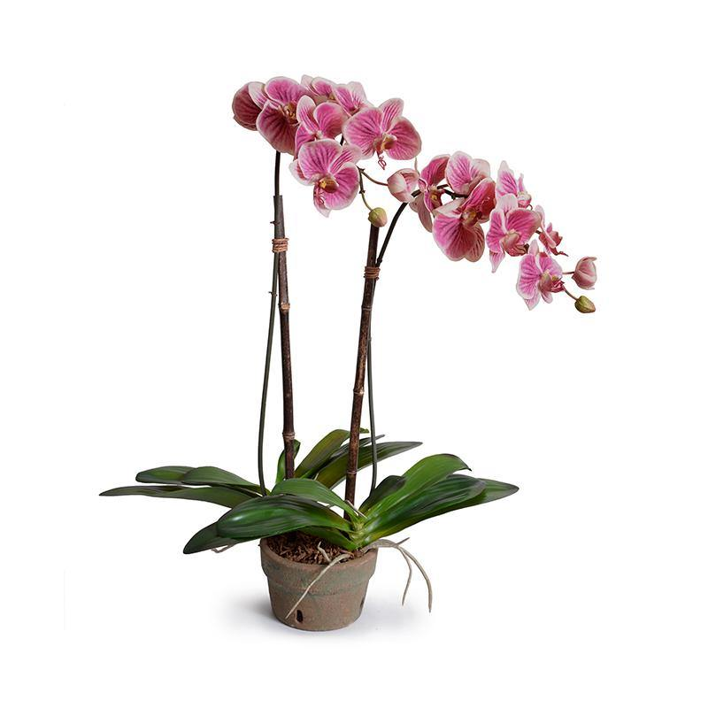 Phalaenopsis Orchid x2 in Rustic Terracotta - Fuchsia/cream - New Growth Designs