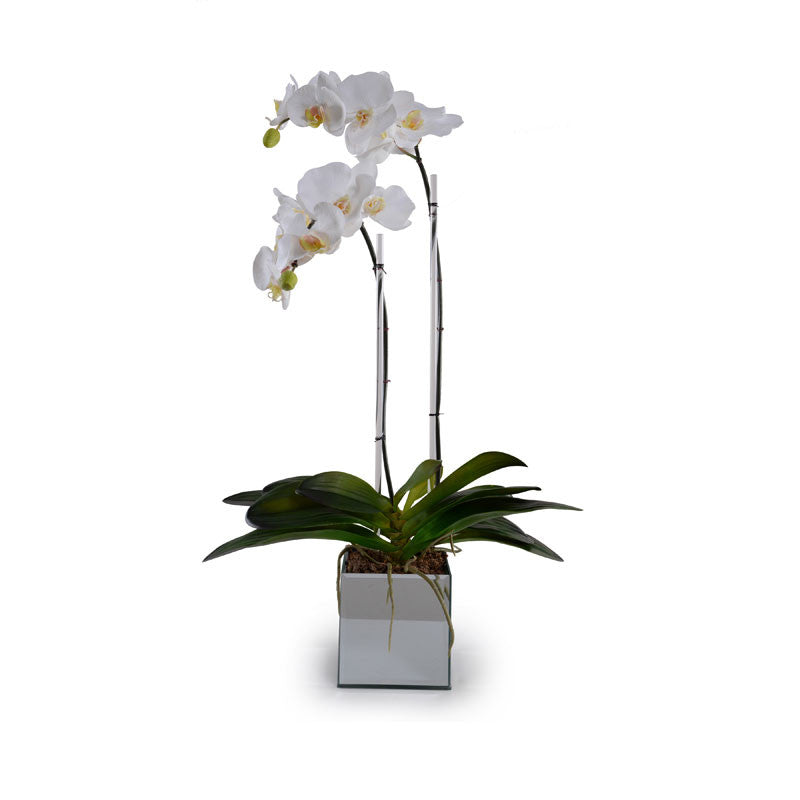 Phalaenopsis Orchid in Mirror Container