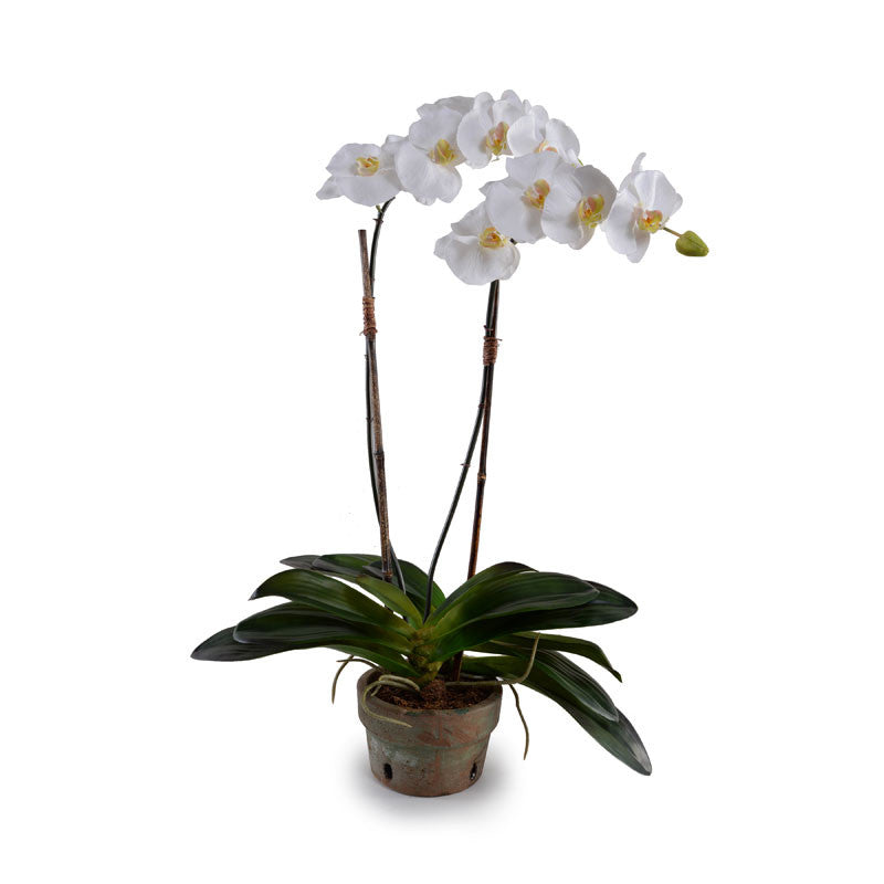 Phalaenopsis Orchid x2 in Rustic Terracotta - White