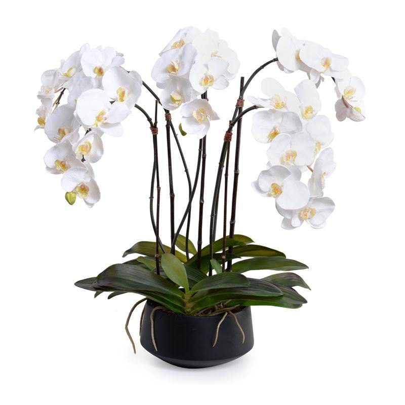 Phalaenopsis Orchid x5 in Ceramic Bowl - White in Black Bowl