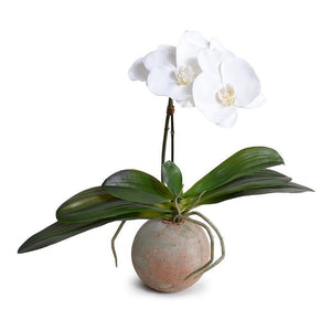 Phalaenopsis Orchid in Terracotta Ball Pot - White - New Growth Designs