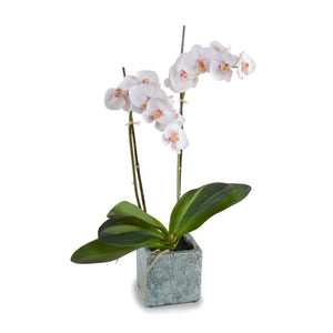 Phalaenopsis Orchid x2 in Ceramic Pot - White