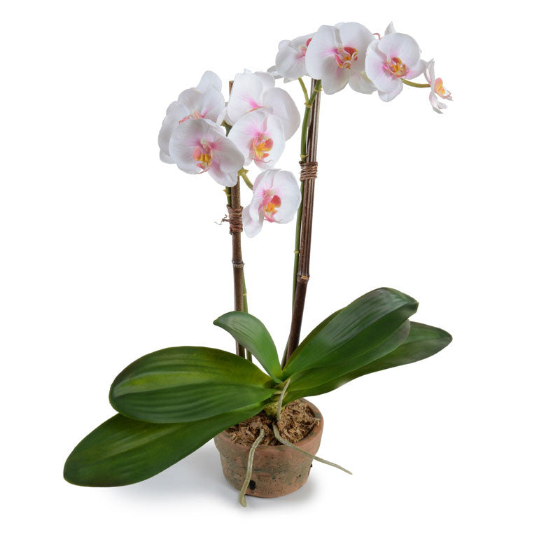 Phalaenopsis Orchid x2 in Rustic Terracotta - White-Pink