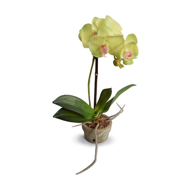 Mini Orchid Phalaenopsis New Growth Designs