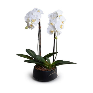 "Phalaenopsis Orchid x2 in Black Ceramic Bowl, 28""H - New Growth Designs"