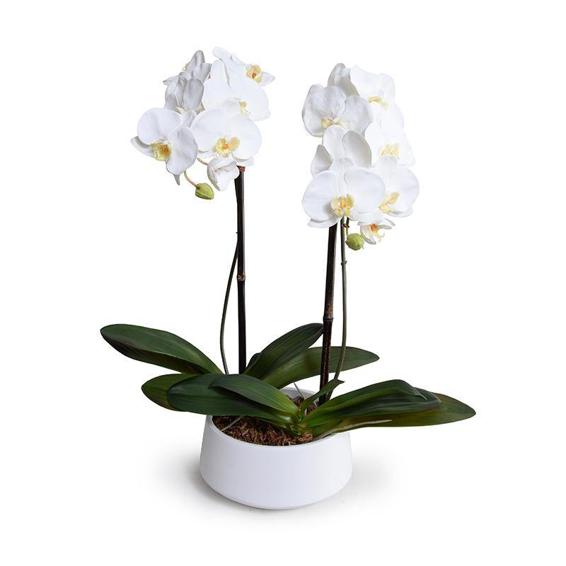 "Phalaenopsis Orchid x2 in White Ceramic Bowl, 28""H - New Growth Designs"